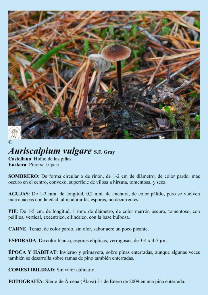 Aaurriscalpium vulgare