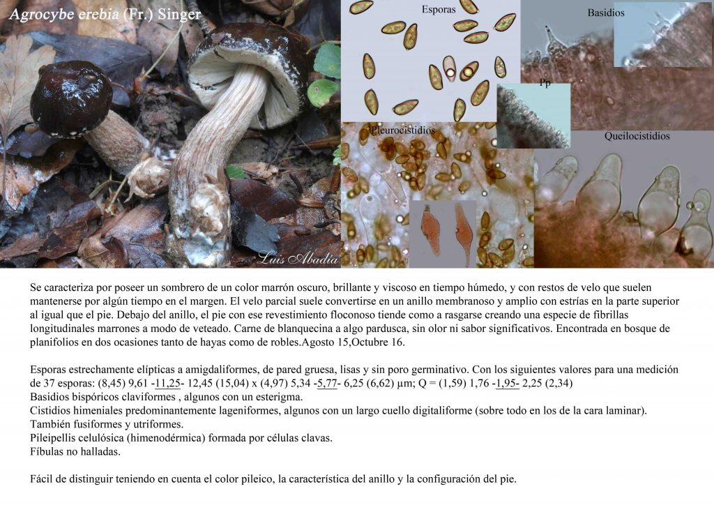 Agrocybe erebia montaje