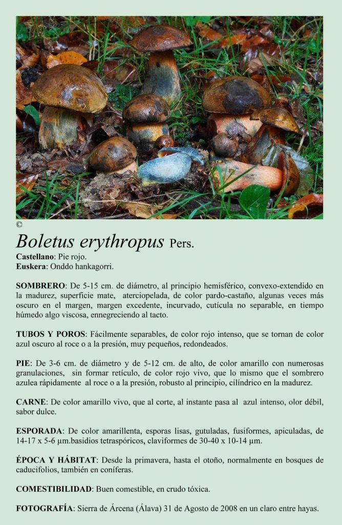 Boletus erythropus