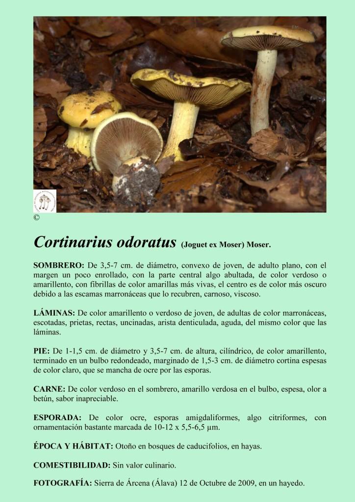 C. odoratus
