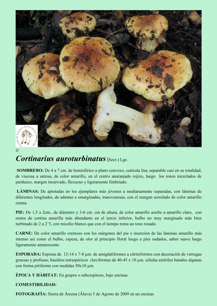 C.auroturbinatus
