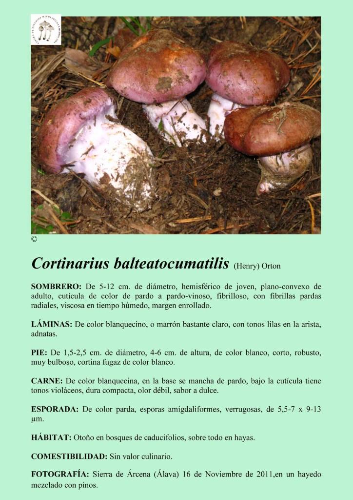 C.balteatocumatilis