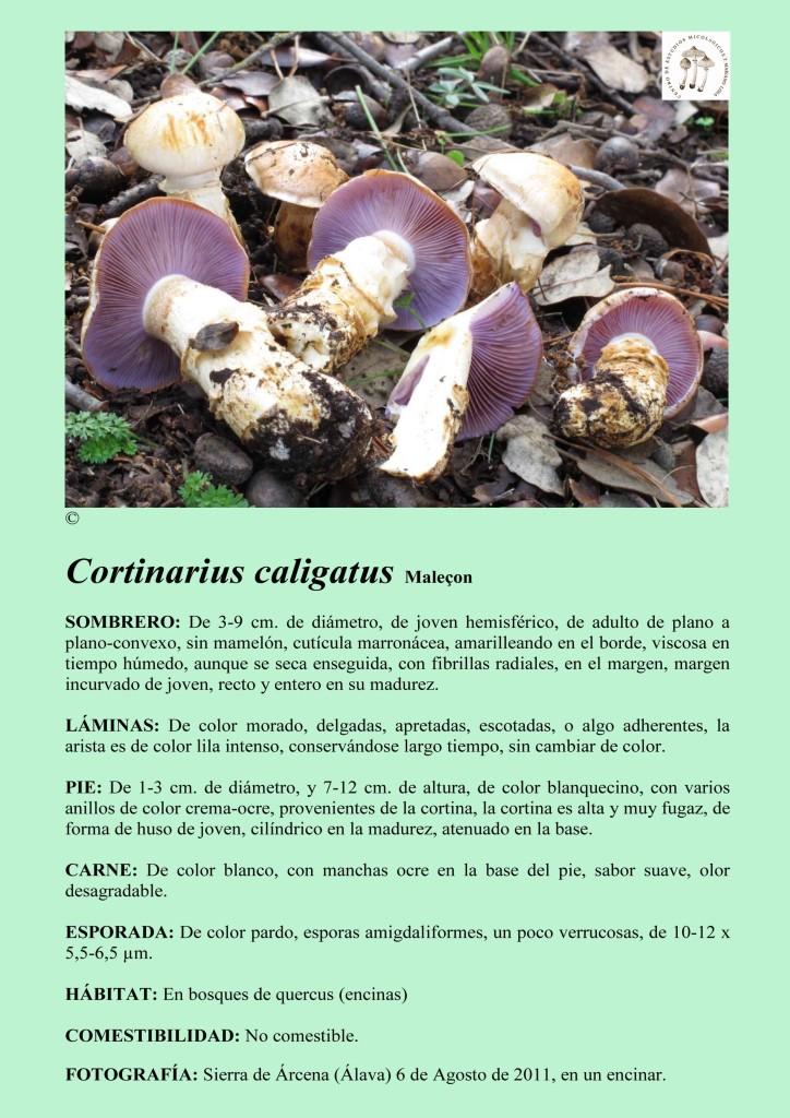 C.caligatus