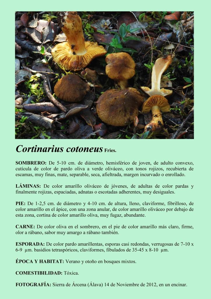 C.cotoneus