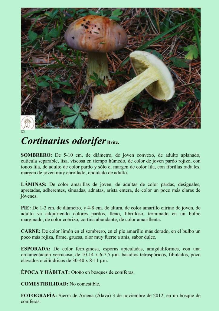 C.odorifer