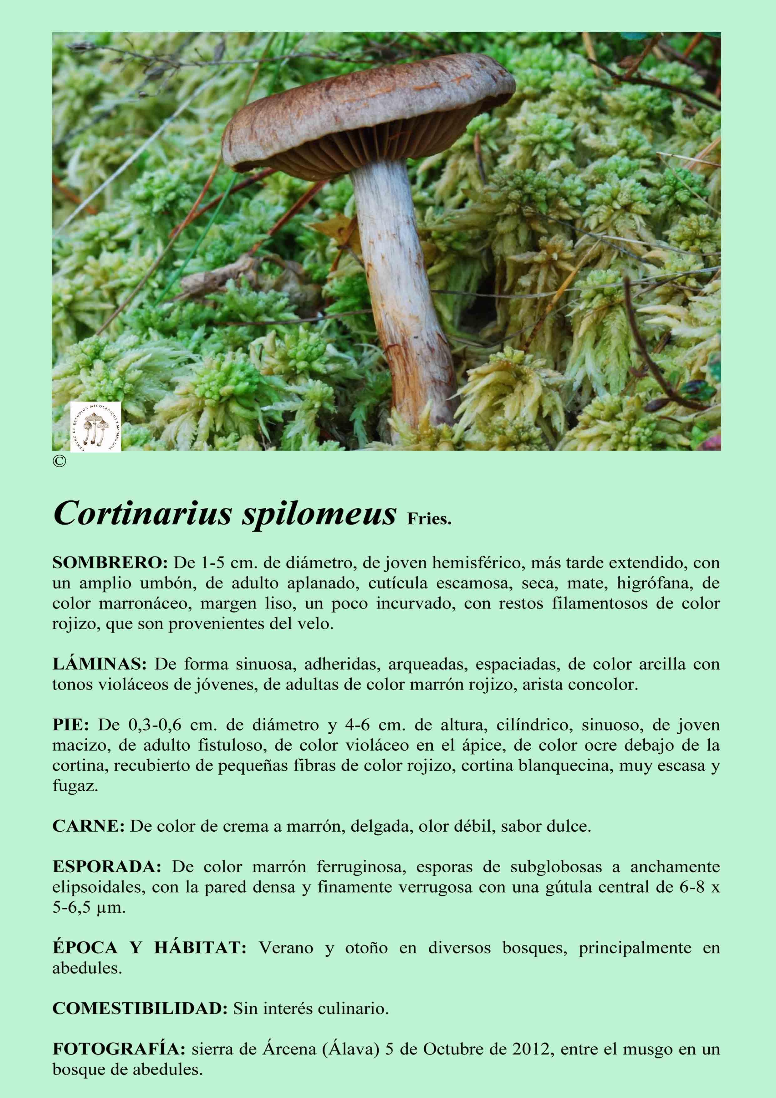 C.spilomeus