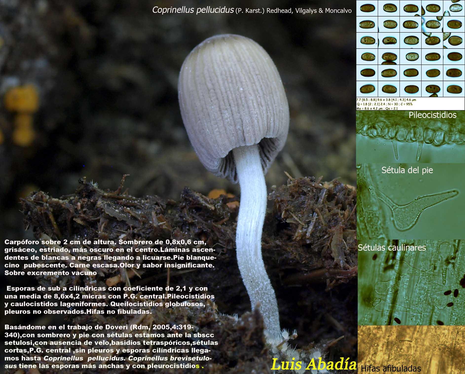 Coprinellus pellucidus