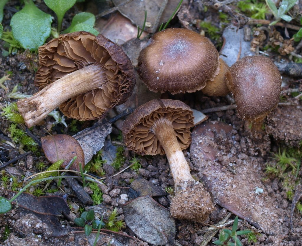 Cortinarius (FILEminimizer)