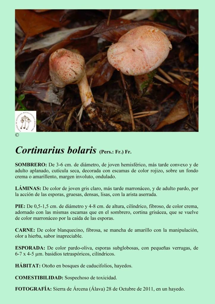 Cortinarius bolaris