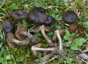 Cortinarius cf. vernus (FILEminimizer)