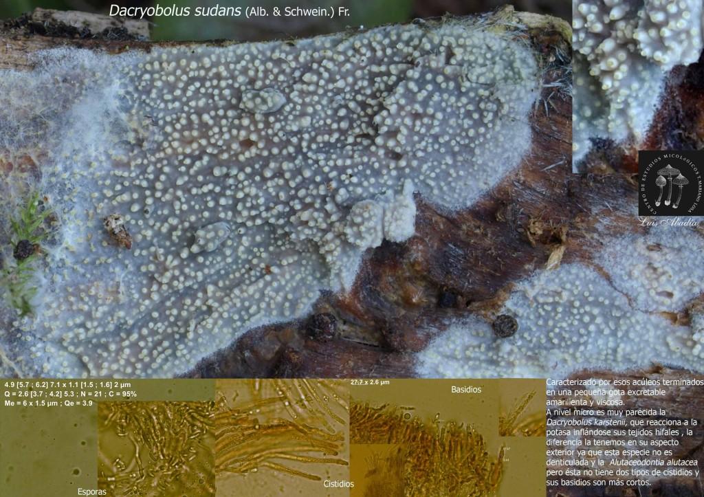 Dacryobolus sudans (San Juan)