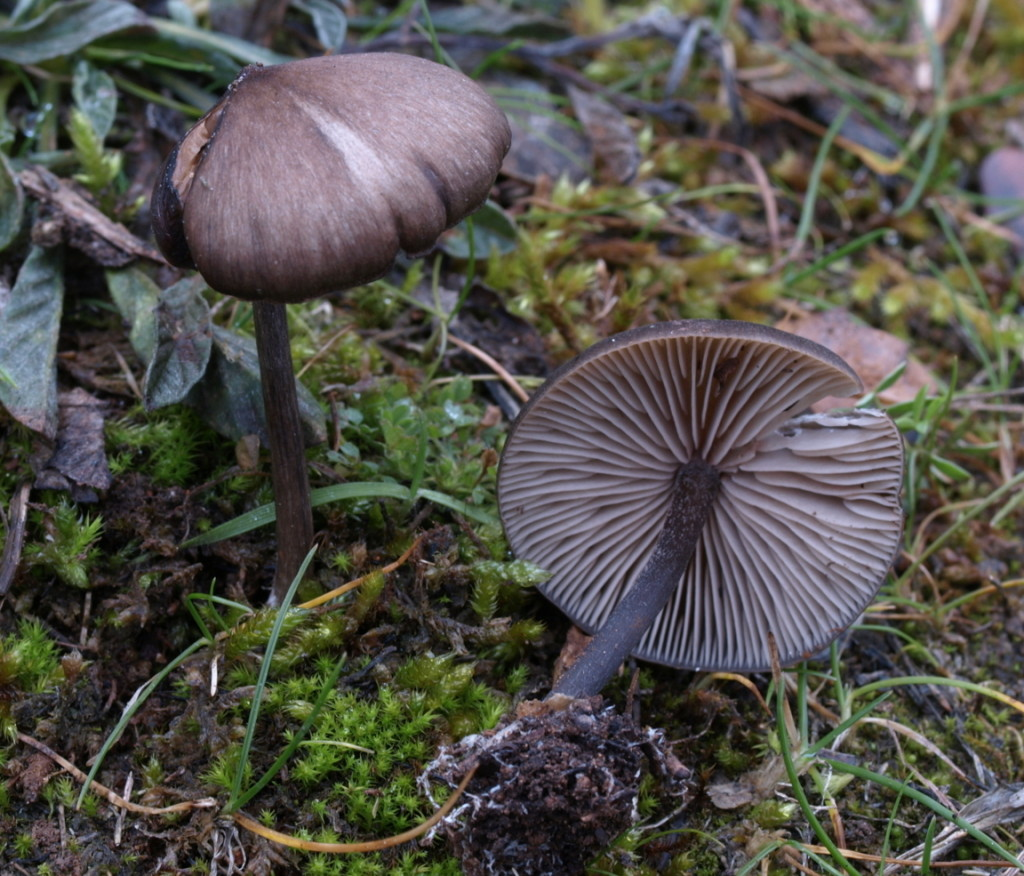 Entoloma hebes (FILEminimizer)