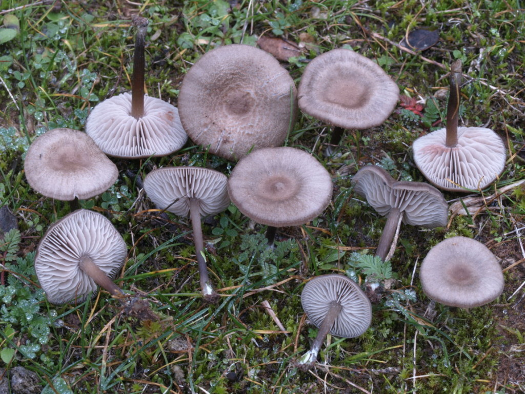 Entoloma2 sp (FILEminimizer)