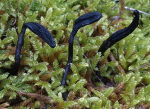 Geoglossum cf.barlae (FILEminimizer)