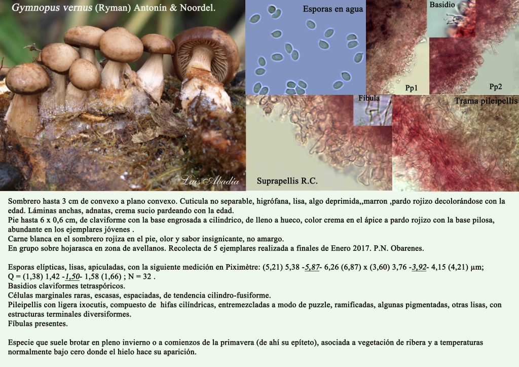 Gymnopus vernus2