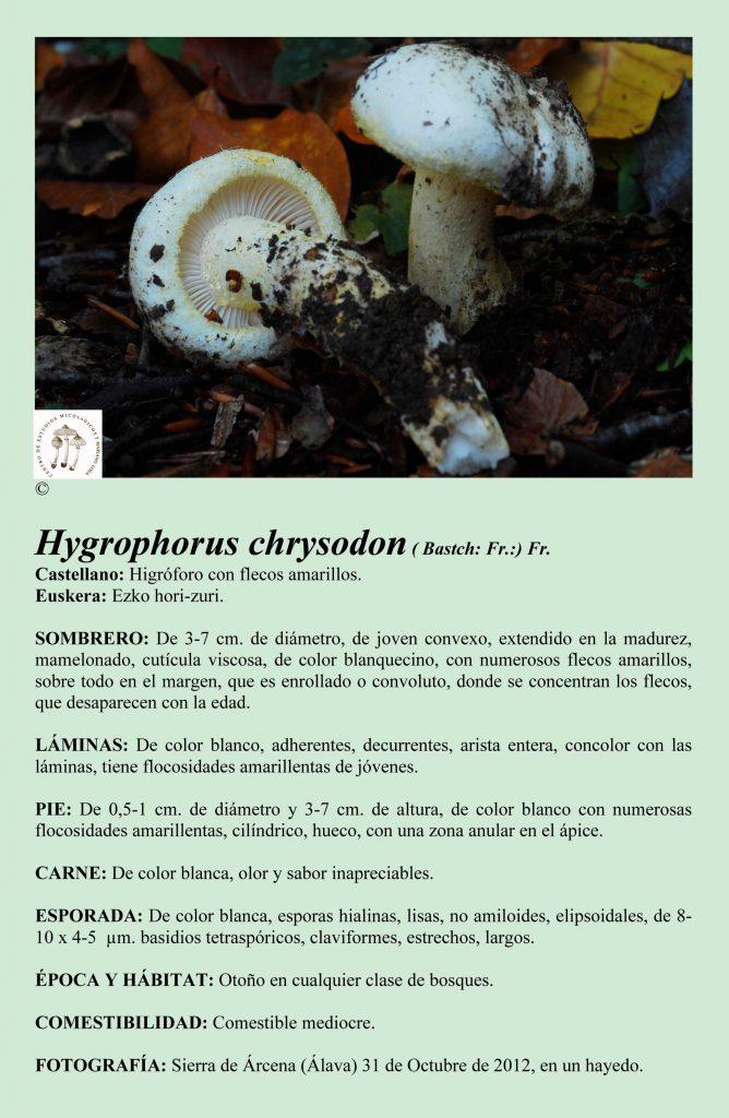 H.chrysodon