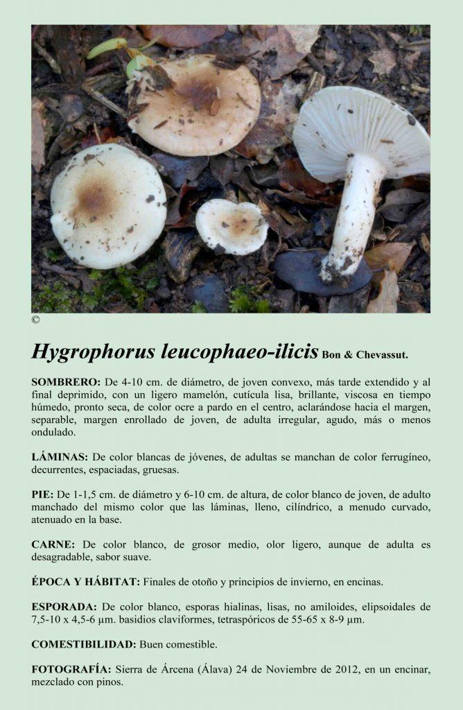 H.leucophaeo-ilicis