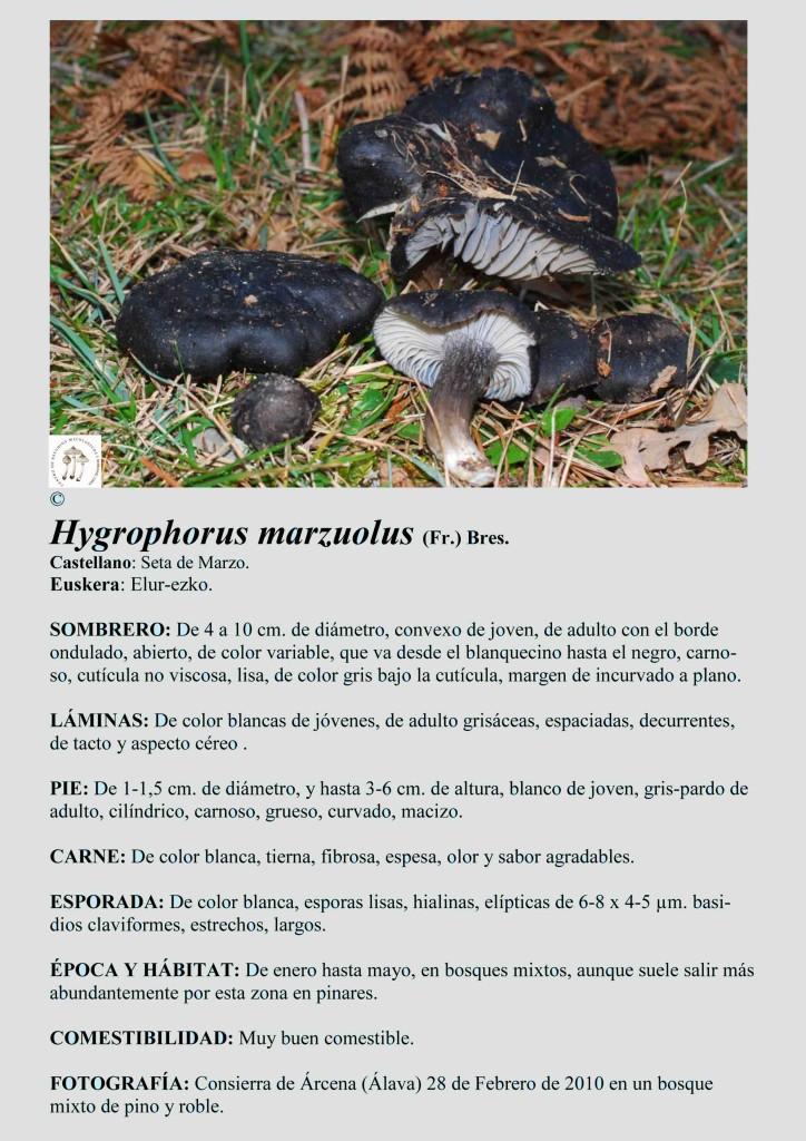 H.marzuolus