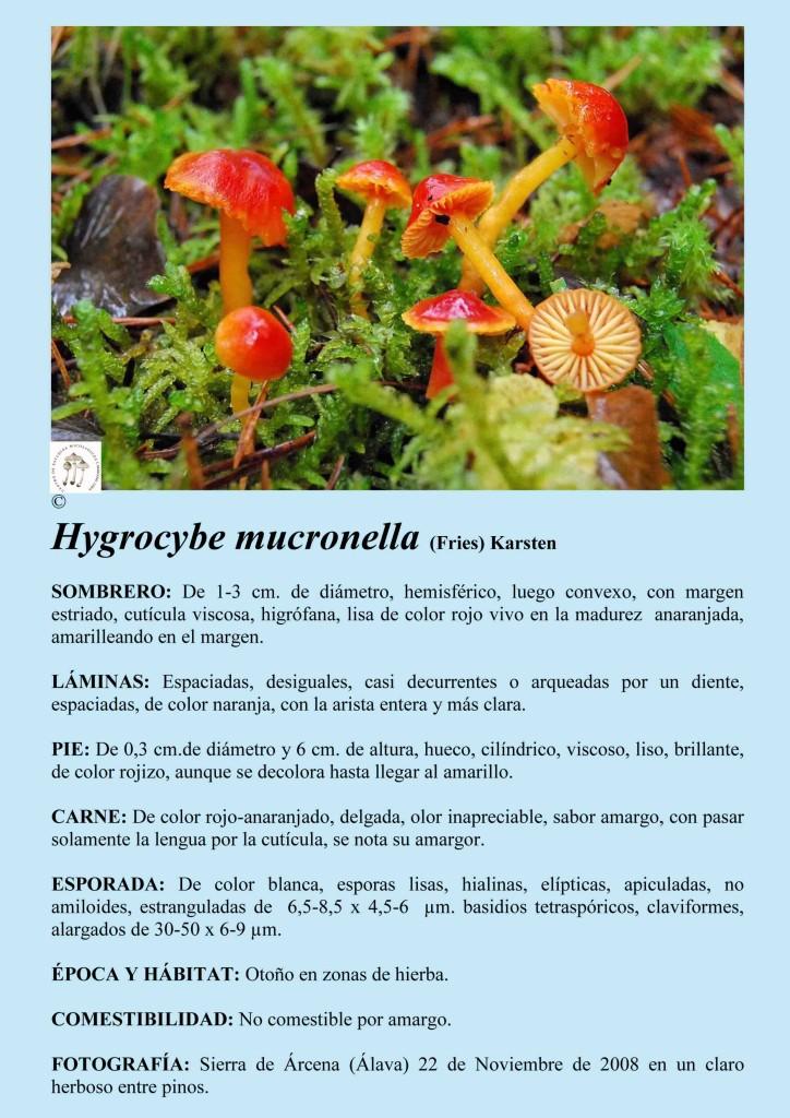 H.mucronella