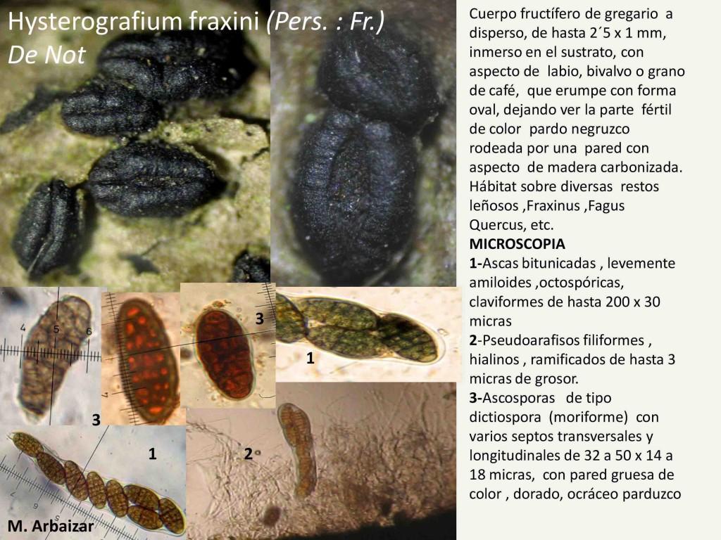 Hysterografium fraxini2