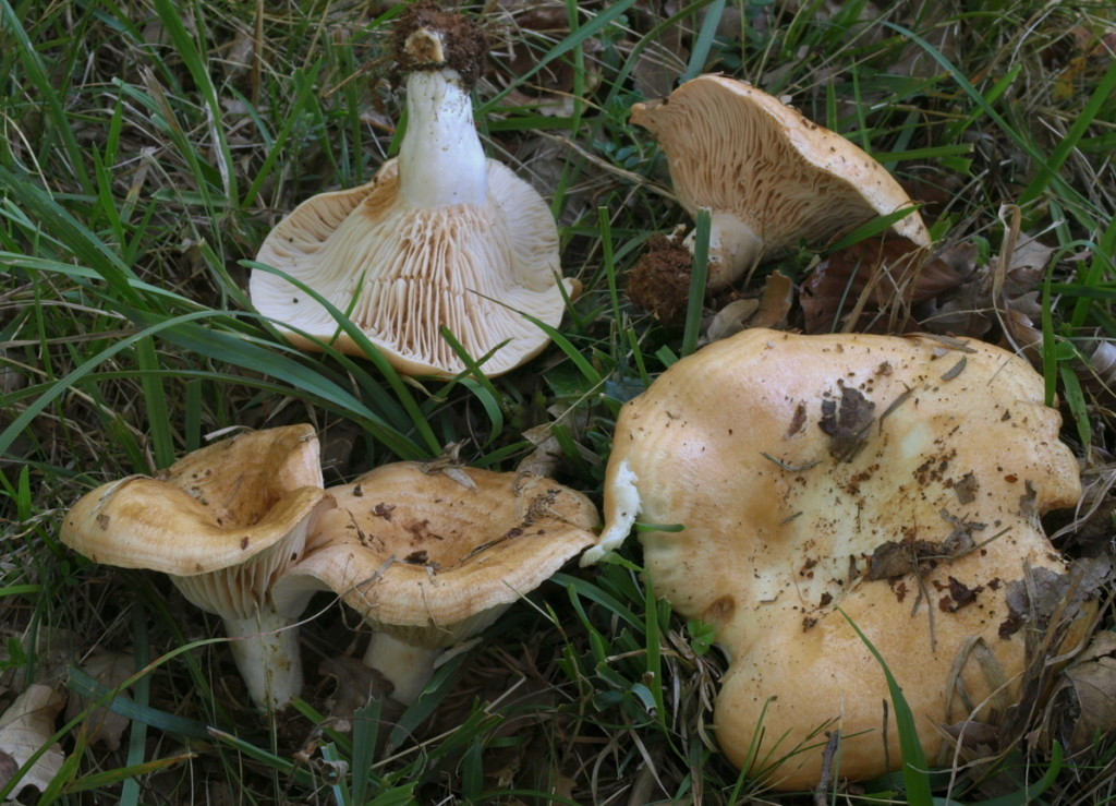 Lactarius zonarius (FILEminimizer)