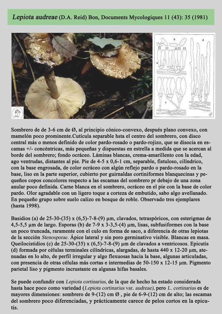 Lepiota audreaer