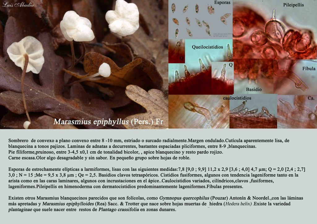 M.epiphyllus