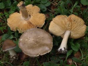 Melanoleuca cognata (FILEminimizer)