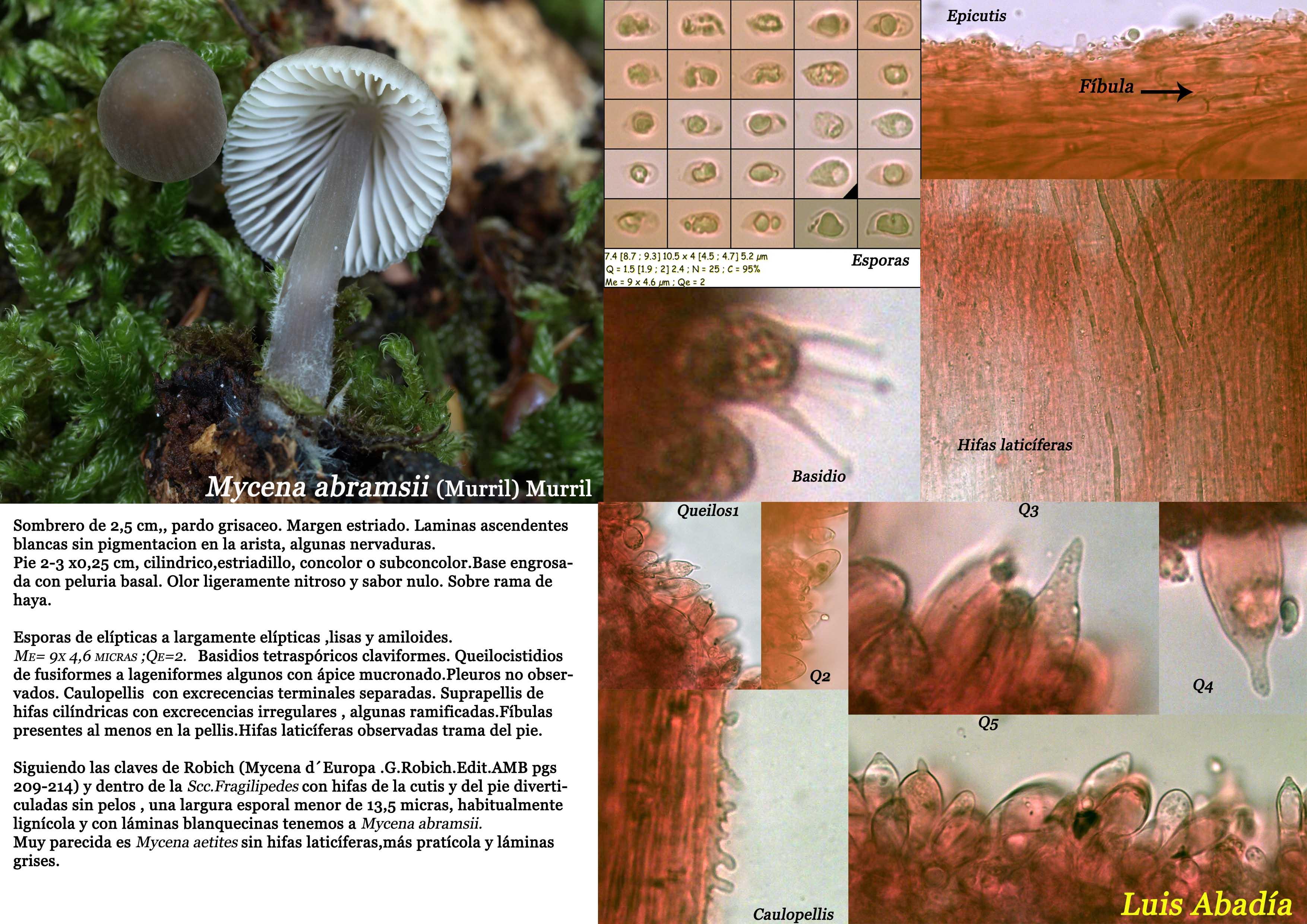 Mycena abramsii