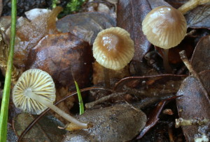 Mycena aurantiomarginata (FILEminimizer)