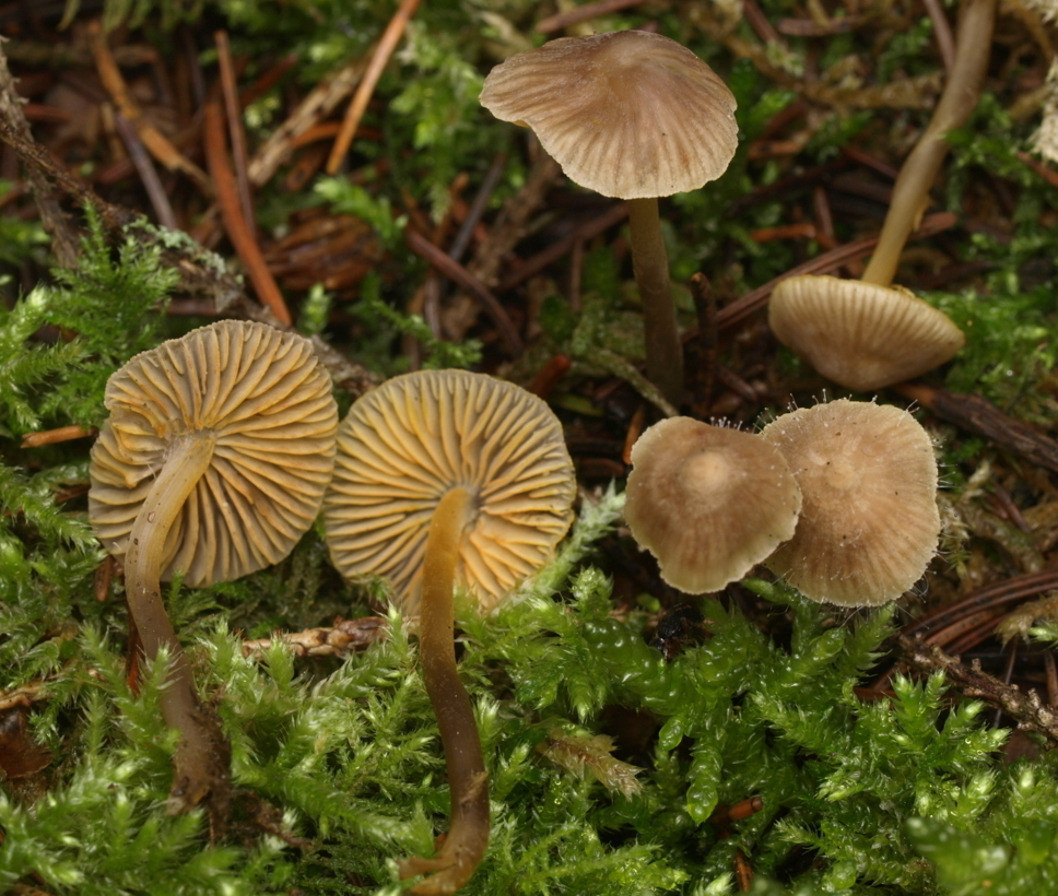 Mycena aurantiomarginata