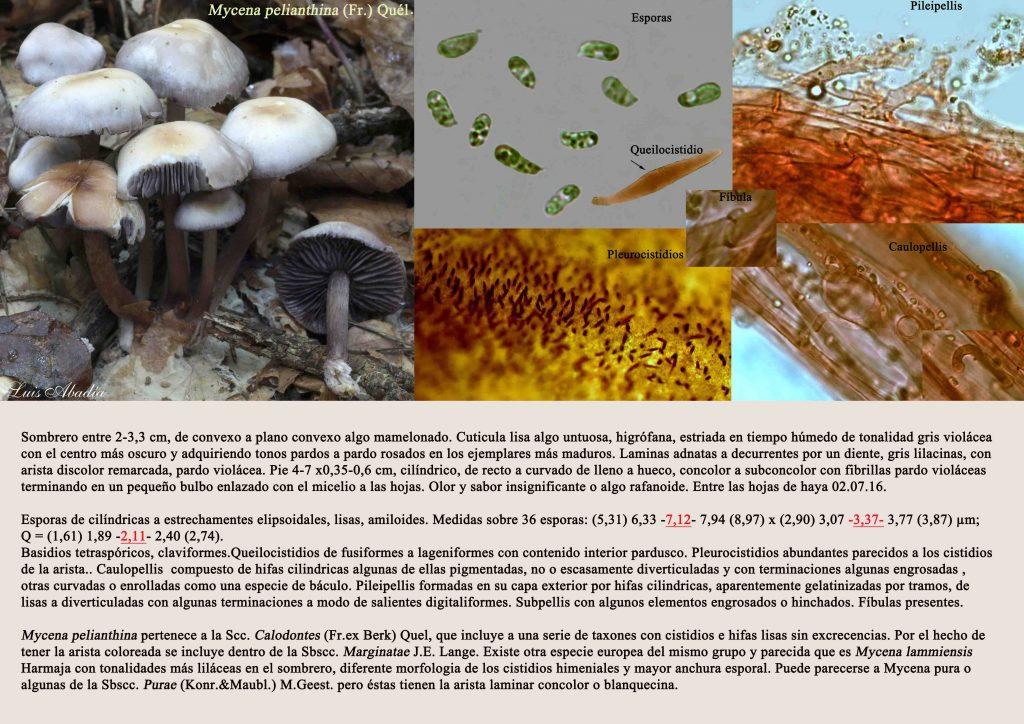 Mycena pelianthina