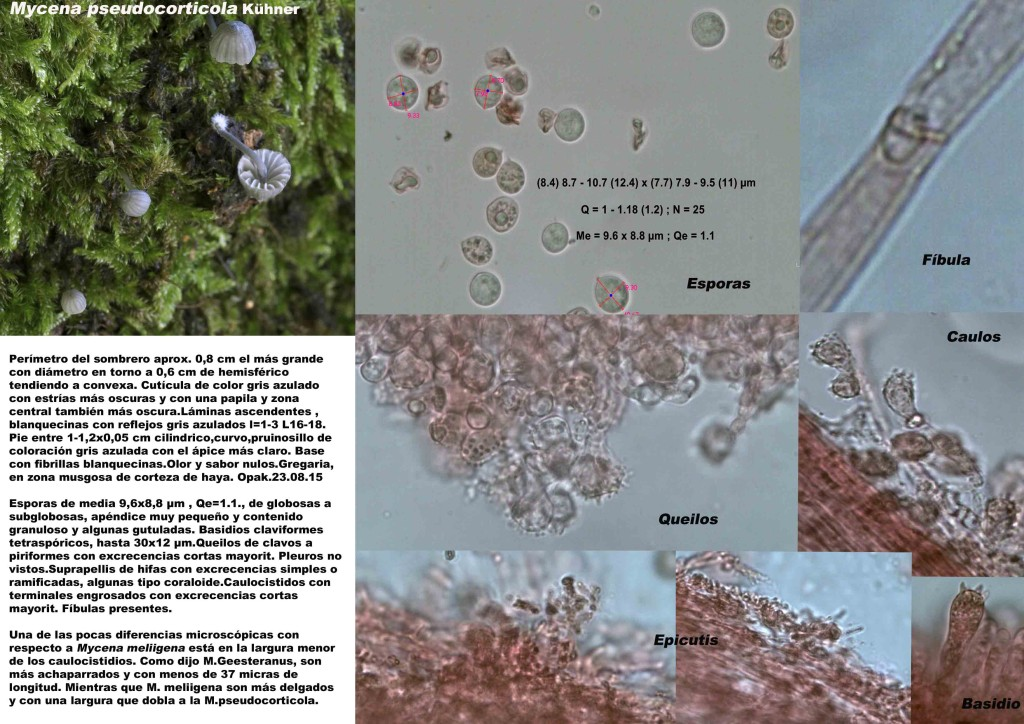 Mycena pseudocorticola