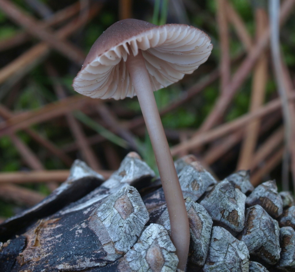 Mycena seynisii (FILEminimizer)