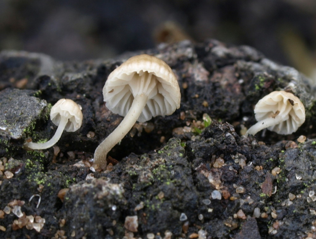 Mycena speirea (FILEminimizer)