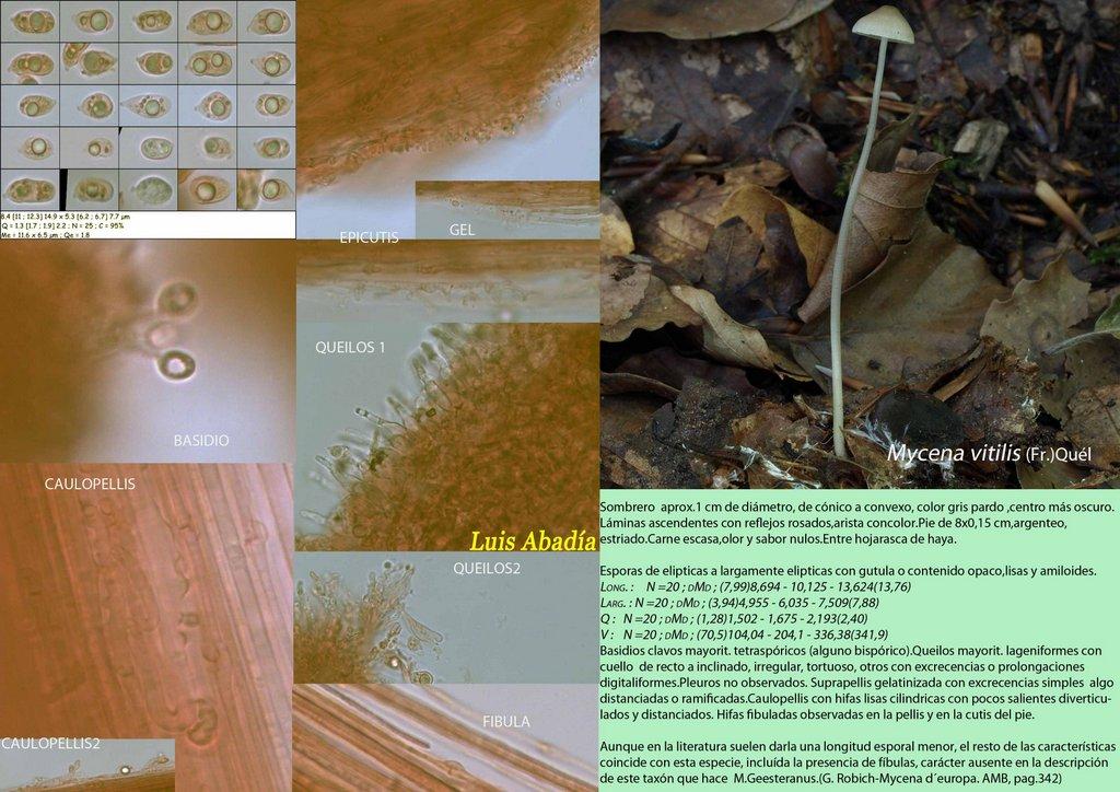 Mycena vitilis