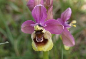 Ophrys tenthredinifera (FILEminimizer)