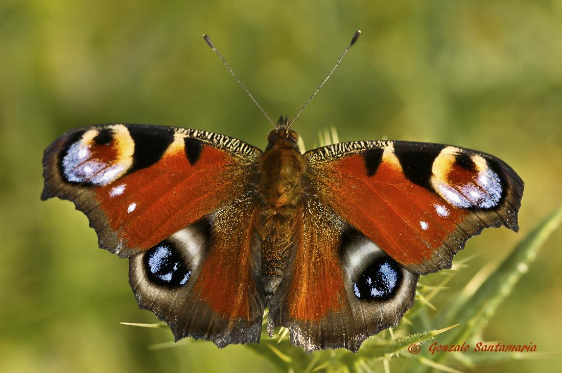 La hermosa mariposa pavo real (Inachis io) es una especie bien conocida y reconocible al instante gracias a su patrón único. Los impresionantes ocelos le dan a esta especie su nombre común, asusta a los depredadores o desvía a las aves de atacar su cuerpo.  Información sacada de....http://www.biopedia.com/mariposa-pavo-real-inachis-io/