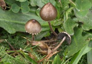 Panaeolus papilionaceus (FILEminimizer)