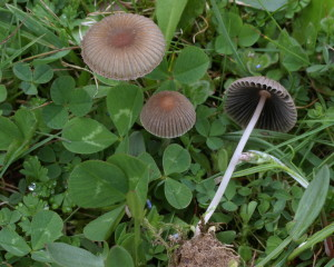 Parasola schroeteri (FILEminimizer)