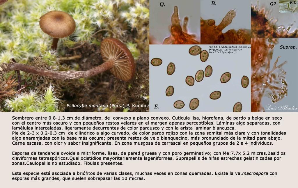 Psilocybe montana