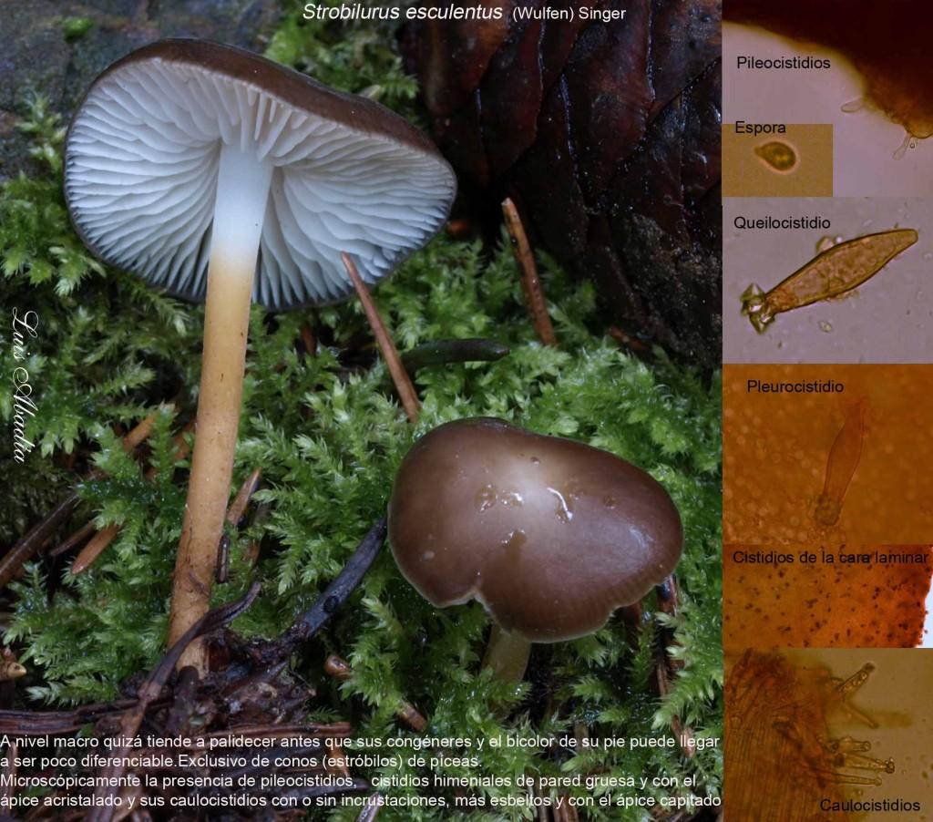 Strobilurus esculentus