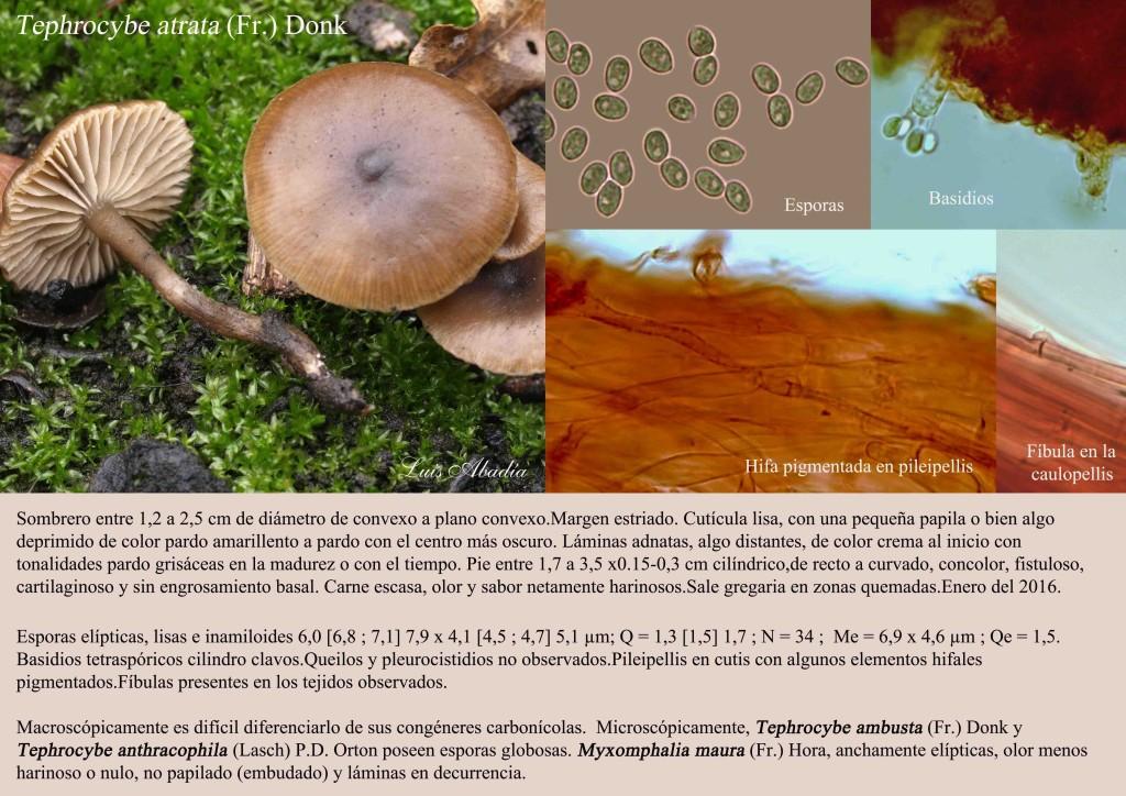 Tephrocybe atrata