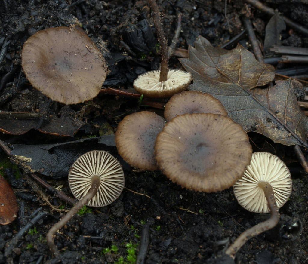 Tephrocybe atrata (FILEminimizer)