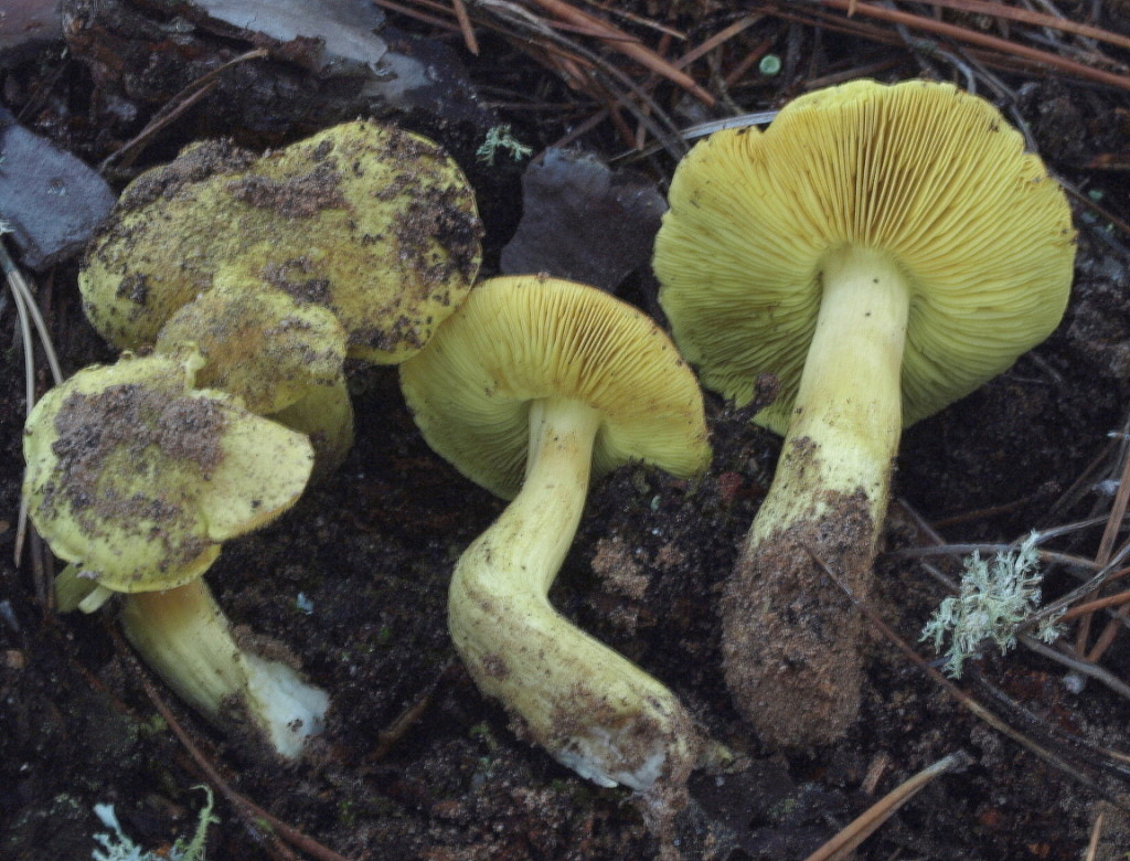 Tricholoma auratum (FILEminimizer)
