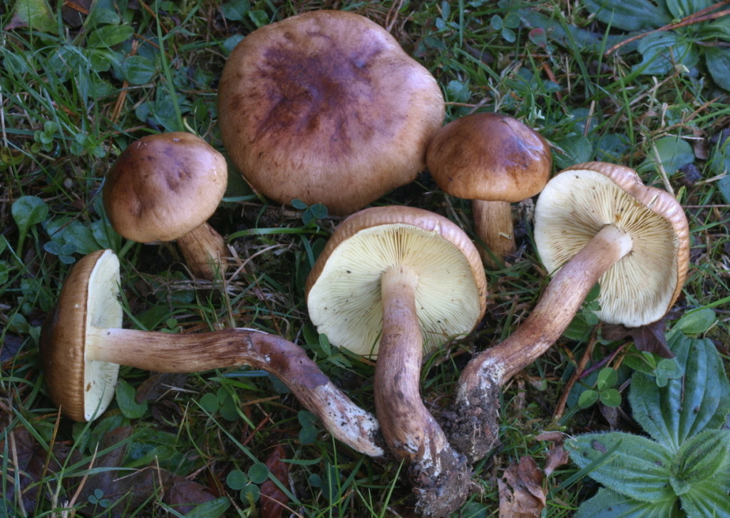 Tricholoma fulvum (FILEminimizer)