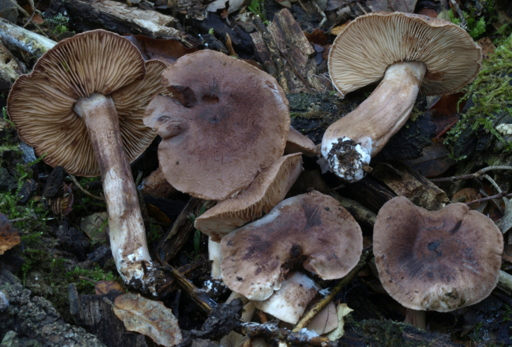 Tricholoma imbricatum (FILEminimizer)