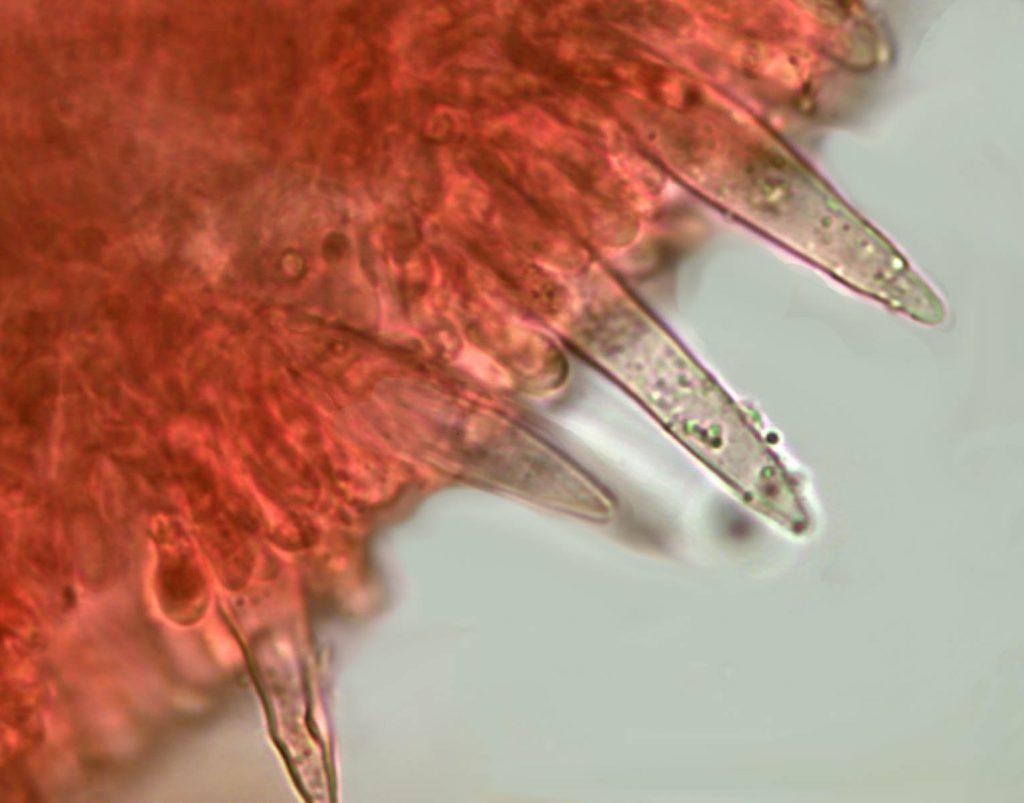 cistidios tenacellus