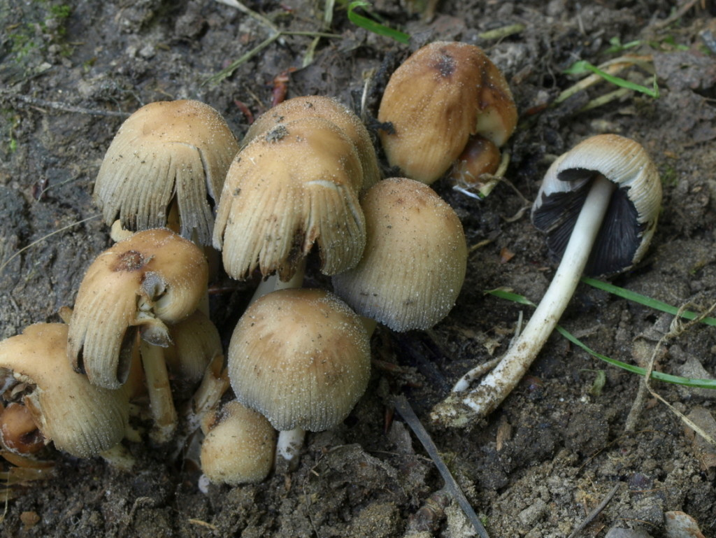 coprinellus gr. micaceus (FILEminimizer)