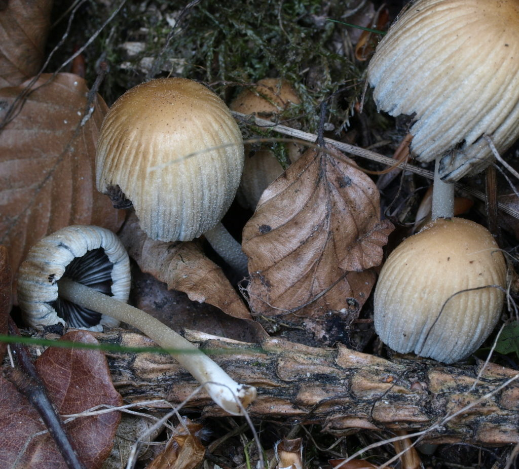 coprinellus mic (FILEminimizer)